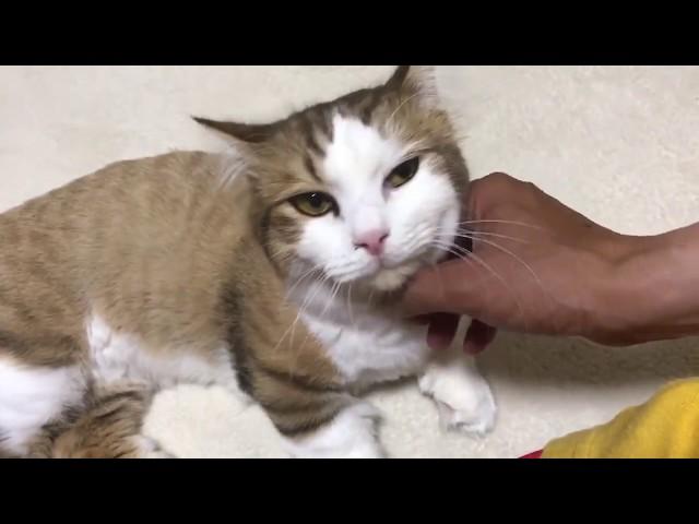 花火の音が怖くて足元をウロウロする猫 #猫 #cat