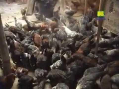Video Budidaya Ayam Arab/Ternak Ayam Arab Cepat Besar dan Sehat Produksi meningkat