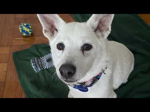 Chami, an adopted Jindo Mix in Brooklyn, NY_image-1