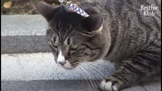 Cat's Dying To Go Outside To Take A Stroll Every Day | Kritter Klub
