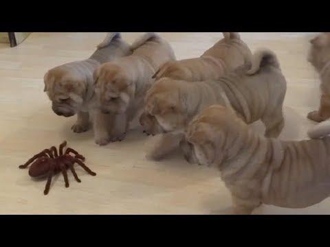 Kapszula parazita
