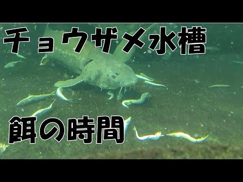 チョウザメ水槽の給餌時間 Sturgeon feeding time
