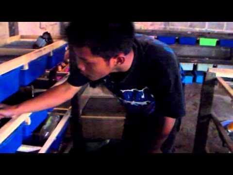 Video wirausahawan muda peternak tikus