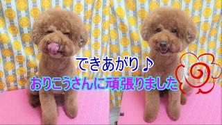動画(*^▽^*)プードルトリミング☆ビッグフェイス