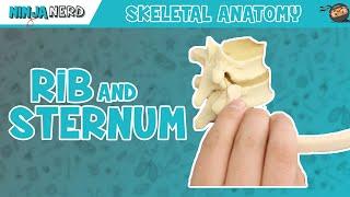 Sternum and Rib Anatomy