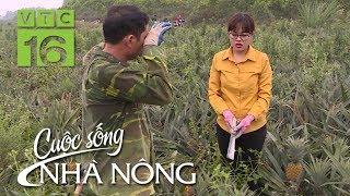 Dứa ngọt giảm sốc, nông dân Quỳnh Lưu chua chát | CSNN 411 | VTC16