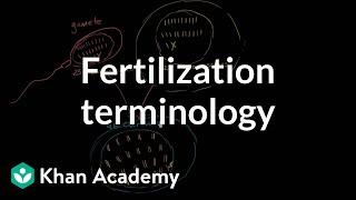 Fertilization terminology: gametes, zygotes, haploid, diploid   MCAT   Khan Academy