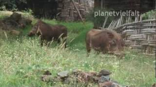 preview picture of video 'Warzenschweine Phacochoerus africanus am Stadtrand von Arba Minch, Warthog'