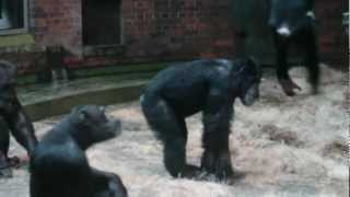 preview picture of video 'Chester Zoo Chimpanzees'