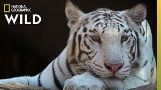 Tigers 101 | Nat Geo Wild