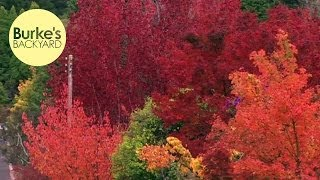 Burkes Backyard, Best Autumn Trees