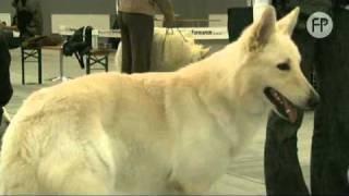Biały Owczarek Szwajcarski - Pies dla aktywnych