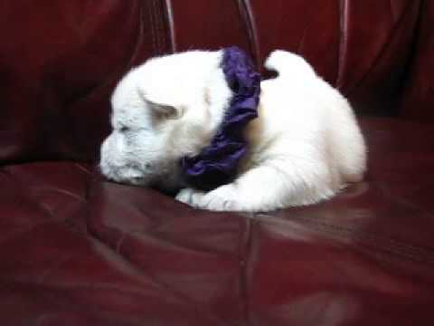 AKC Registered Purple Satin Boy is ready to snuggle