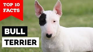Bull Terrier – Top 10 Facts (Cavalier Gladiator)