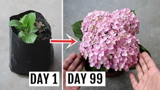 How To Grow Hydrangeas In Pots - Feeding, Pruning And Complete Care Guide