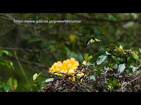 ロスチャイルドトリバネアゲハのオスの飛翔