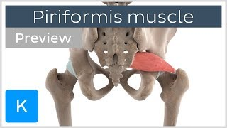 Functions of the piriformis muscle (preview) - 3D Human Anatomy | Kenhub