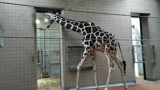 Big giraffe at Japan Tennoji Zoo, Osaka 天王寺動物園のキリン