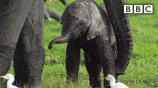 Baby Elephant Misbehaves And Gets Left Behind | Spy In The Wild - BBC