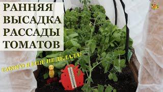 Как высадить рассаду томатов очень рано в теплицу, чтобы собирать урожай в июне!