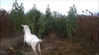 Дикий огород. Топинамбур -  земляная груша.