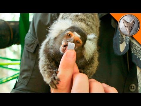 Tiny Monkeys LOVE Marshmallows!