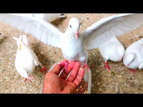 , title : 'Вечернее кормление голубей. Evening feeding of pigeons