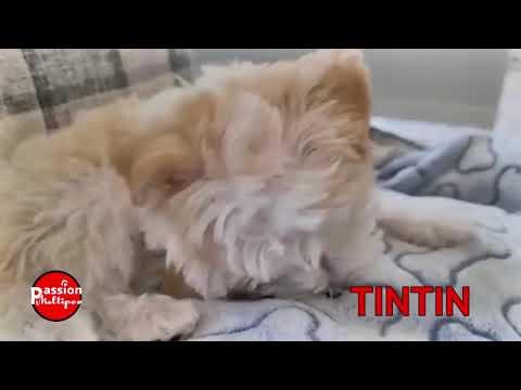Tintin et Brindille