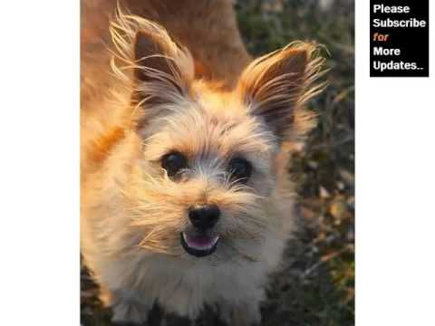 Collection Of Cute Pictures Of Dog Terrier Type | Norfolk Terrier Mp3