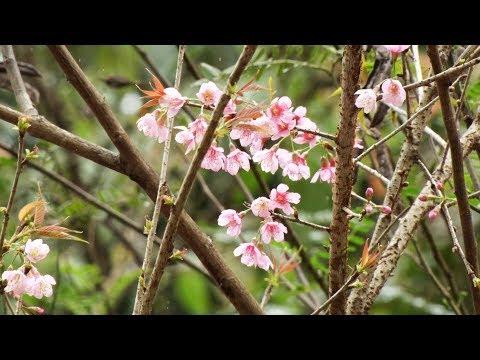 Cerejeira, a árvore que é símbolo do Japão, floresce em Friburgo