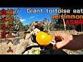 ゾウガメが柿をハムハム食べる音 Giant tortoise eat persimmon ASMR