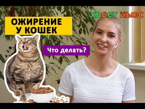 Ожирение у кошек. Опасно ли это? Что делать?