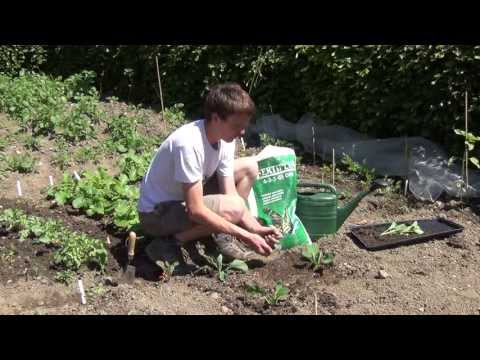 How To Transplant Brussel Sprouts Plants