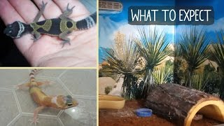 BABY LEOPARD GECKO | What to Expect!?