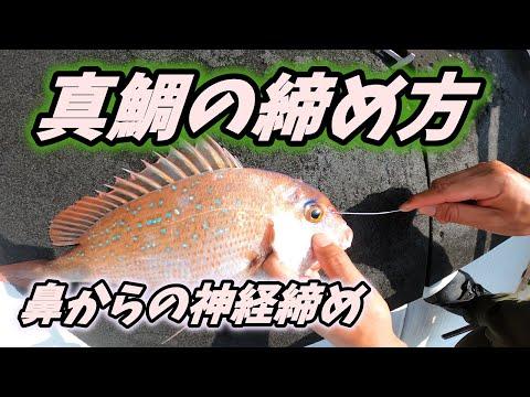 【真鯛を〆る】鼻から行う神経締め編 vol.37