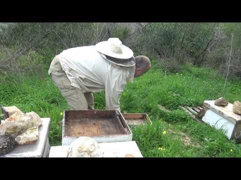 11февраля готовлю семьи к медосбору ,подсиливаю слабые семьи расплодом.