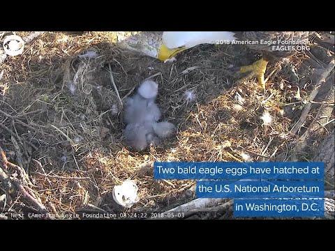2 Baby Bald Eagles Born In D.C.