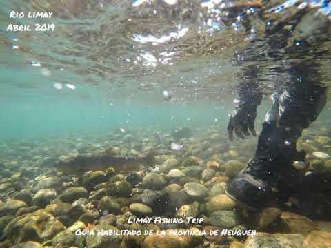 Trucha marron en el Rio Limay Medio