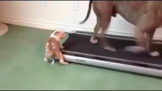 A puppy helping with the treadmill