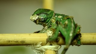 Baby chameleon hatching (part 1) [Inferion7]