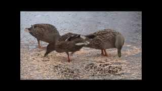 Мои дикие утки... (Мої дикі качки...)...12+