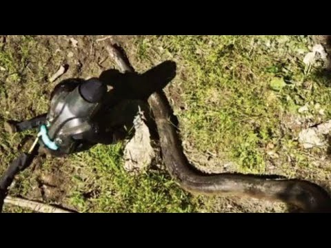 Eaten Alive By An Anaconda? [VIDEO]