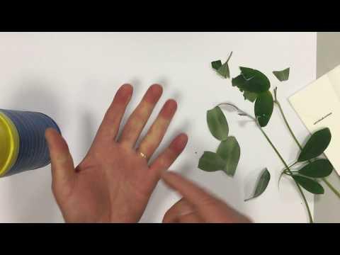 Die Gräser von der Schuppenflechte, wnutrenno zu übernehmen