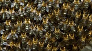 Massive Bee Colony Buzzing In Sync To Scare Off Predators   BBC Earth
