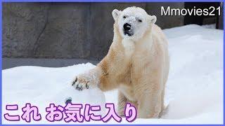 最近のお気に入り キャンディのコロコロ遊び Polar Bear is playing in snow | Kholo.pk