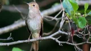 Bahçede Öten Bülbül Sesi Canlı :)