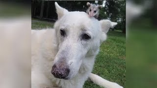 German Shepherd 'Adopts' An Abandoned Baby Opossum And It's The Absolute Cutest