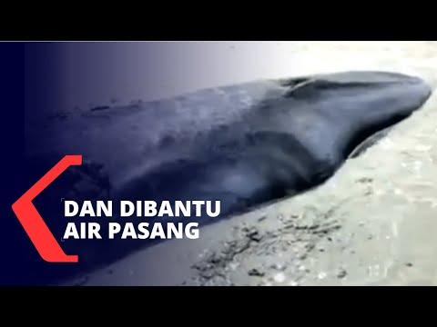 Viral Paus 7 Meter Terjebak Lumpur Sungai, Berhasil Diselamatkan Warga