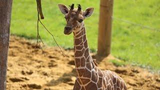 Baby giraffe gives its mum the run around!