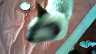 Waking up the worlds loudest siamese cat.
